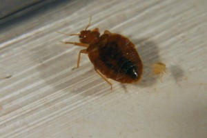 Bed Bugs are truly pests...